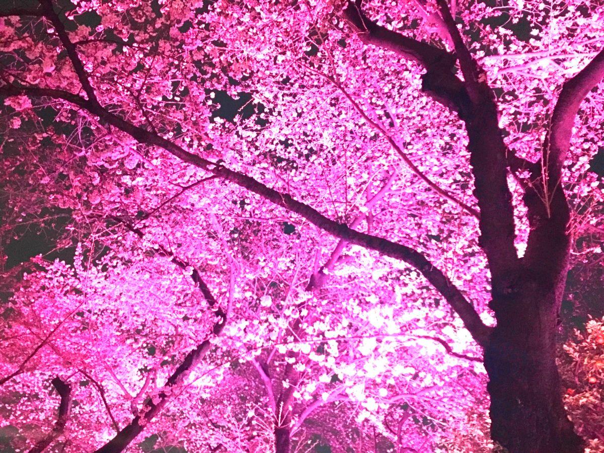 皇居・乾通りの桜